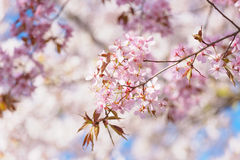 Blossoms of a Japanese cherry tree Stock Photos