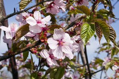 Blossoms Japanese cherry tree Royalty Free Stock Photos