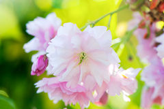 Blossoms of a Japanese cherry tree Stock Image