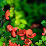 Blossoms japanese quince Stock Photos