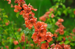 Blossoms of japanese quince Stock Photography