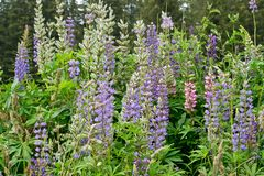 Blossoms of large-leaved lupine. Bohemian Forest. Czech Republic stock images