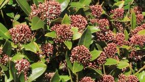 Blossoms leaves and flowers of Laurustinus, Viburnum tinus stock video footage