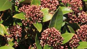 Blossoms leaves and flowers of Laurustinus, Viburnum tinus stock video