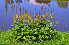 Blossoms Ligularia przewalskii Stock Photos