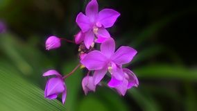 Most beauty purple dendrobium orchid Stock Images