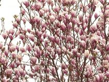 Blossoms of magnolia. In the photo are blossoms of magnolia tree. Photo was made in spring stock image