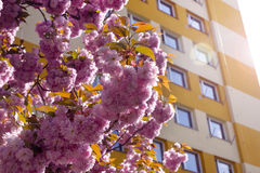 Blossoms middle of housing estates Royalty Free Stock Image