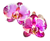 Blossoms of Moth Orchid Stock Photos