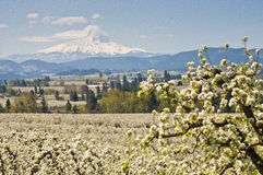 Blossoms and mountain peak. Pear orchard in bloom with snow capped mountain in distance Stock Images