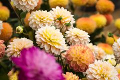 Blossoms of multicolored dahlias stock photo