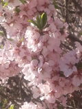 Blossoms. Nanking cherry blossoms  in full bloom Royalty Free Stock Photos