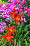 Blossoms of orange Daylily. Blossoms of orange Daylily with Phlox plants in the background Royalty Free Stock Images