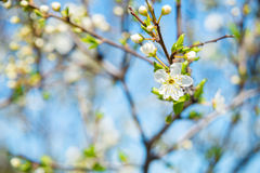 Blossoms over blurred nature background. Spring flowers.Spring background with blue bokeh. Blossoms over blurred nature background. Spring flowers.Spring stock photography