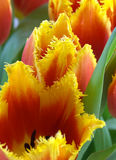 Blossoms of parrot tulips Royalty Free Stock Image