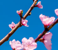 Blossoms On Peach Tree Stock Photo