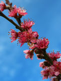 Blossoms of a Peach Tree in Spring. Royalty Free Stock Images