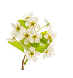 Blossoms of pear tree. Spring flowers isolated on white Stock Photography