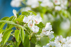 Blossoms of a pear tree in spring Stock Images