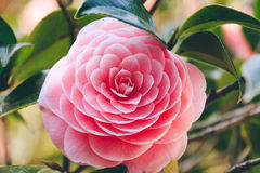 Blossoms of pink camellia Stock Images