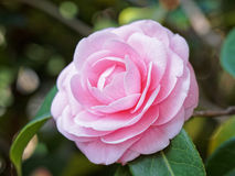 Blossoms of pink camellia stock photography
