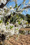 Blossoms of plum tree royalty free stock images