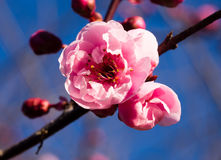 Blossoms on a plum tree Stock Photography