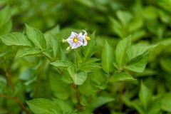 Blossoms on potato plants at the farm. stock images