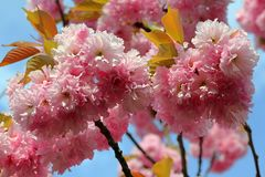 Blossoms of Prunus serrulata, close up photo Royalty Free Stock Photos