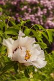 Blossoms purple Paeonia suffruticosa  on a blurred green backgro. Blossoms purple Paeonia suffruticosa variety Anastasia Sosnowiec on a blurred green background Stock Images