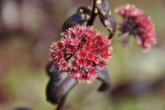 Blossoms of a red milkweed plant royalty free stock photo