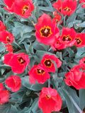 Blossoms of Red Tulip flowers in red and green. Field of spring flowers in shape of Pansy flowers seen in moving constitution. Dynamic spring background stock photos