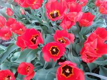 Blossoms of Red Tulip flowers in red and green. Field of spring flowers in shape of Pansy flowers seen in moving constitution. Dynamic spring background stock photography