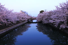 Blossoms River reflection. Blossoms cherry flowers in japan Stock Image