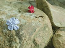Blossoms on a rock surface royalty free stock images
