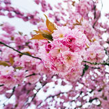 Blossoms of sakura tree Stock Images