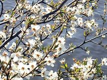 Blossoms at the sea Royalty Free Stock Image