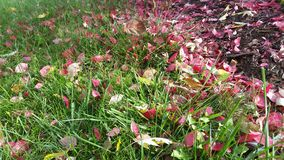 Blossoms Shedding to the Grass Royalty Free Stock Image