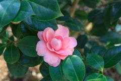 Blossoms of red camellia stock image
