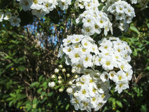 Blossoms of Spiraea x vanhouttei Royalty Free Stock Image