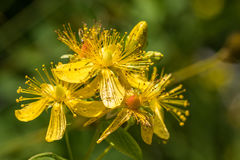 Blossoms of spotted St Johns wort, Hypericum maculatum Stock Image