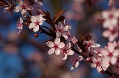 Blossoms of spring cherries, pink flowers on a blue background. royalty free stock image