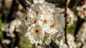 Blossoms. Spring blossoms in the park stock image