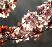 Blossoms. Spring blossoms in the sunshine Royalty Free Stock Image