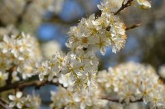 Blossoms of spring royalty free stock photography