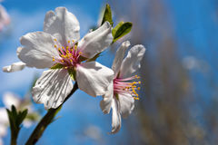 Blossoms at springtime. Flowers of almond close-up macro Stock Image