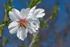 Blossoms at springtime. Flowers of almond close-up macro Royalty Free Stock Image