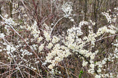 Blossoms of thorny shrub hawthorn in spring Royalty Free Stock Images