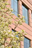 Blossoms on a tree and an office building Stock Photo