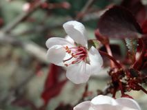 Blossoms on a Tree in the Spring. White blossoms begin to open on a tree in the Spring Stock Images